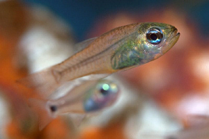 Juvenile Cardinalfish, Tulamben by Doug Anderson 